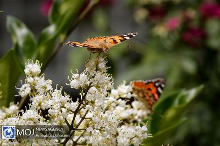 تشدید پروانه ها در تهران