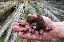 اجرای طرح مبارزه با آفت سوسک حنایی در نخلستان های هرمزگان