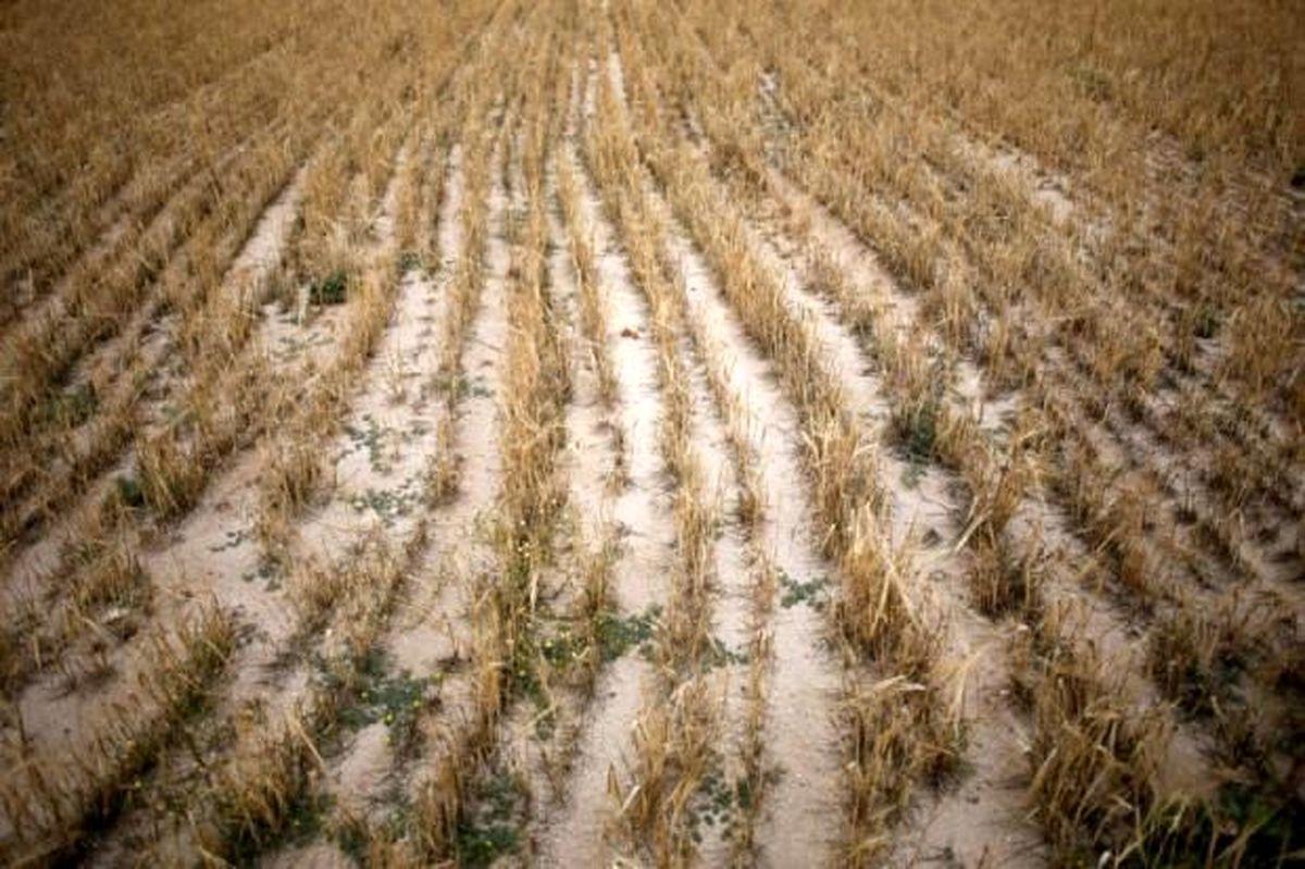 خشکسالی و سرما به کشتزارهای جو تربت جام خسارت وارد کرد