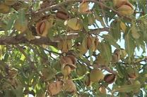 پیش بینی برداشت 510 تن بادام از باغات دیم در فریدن