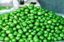 تولید بیش از 720 تن گوجه سبز در مرکز لرستان