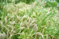 پیش بینی برداشت بیش از 125 تن زیره سبز از مزارع شهرستان مبارکه
