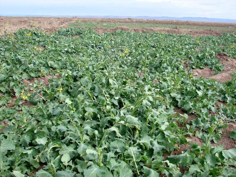 برداشت محصول از مزارع واحد دانشگاهی جویبار آغاز شد