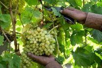 کاهش 60 درصدی برداشت انگور در تیران و کرون