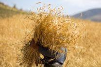 پیش بینی برداشت ۳۸ هزار تن گندم در حاجی آباد/بهرهبرداری از تنها سیلوی بتنی استان هرمزگان