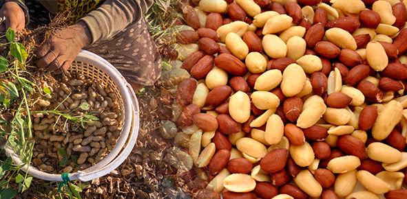 جشنواره بادام زمینی موجب دیده شدن زحمات کشاورزان این محصول  است
