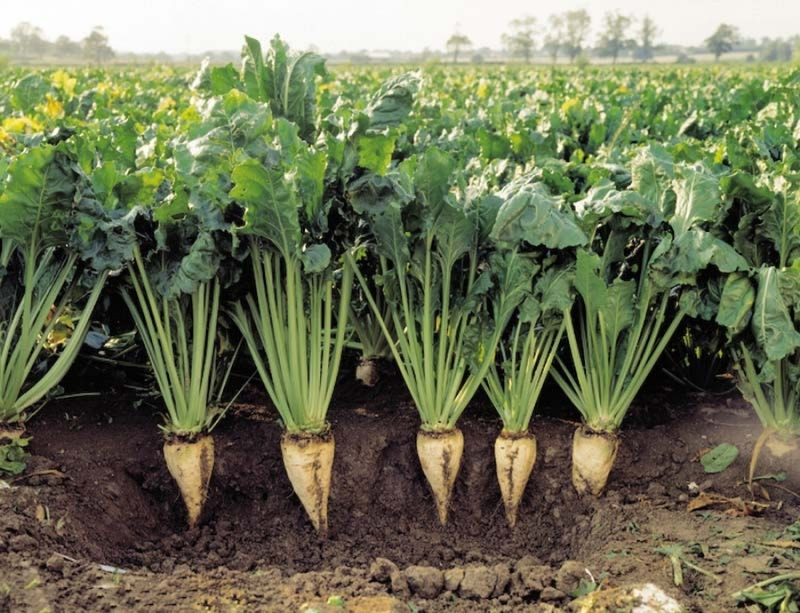 برنامه ریزی برای تولید ۴ میلیون تن چغندر پاییزه