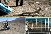 یک قلاده روباه در شهرستان فلاورجان زنده گیری و رها سازی شد
