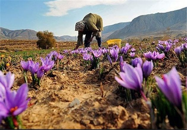 تغییر الگوی کشت در استان اصفهان / زعفران و گیاهان دارویی رویکرد جدید کشت