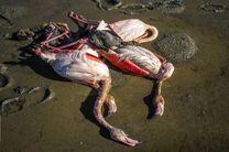 بوتولیسیم علت اولیه مرگ پرندگان در جزیره میانکاله