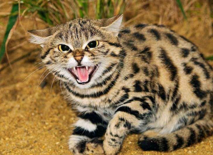 دو قلاده گربه وحشی در حیات وحش یخاب رهاسازی شد