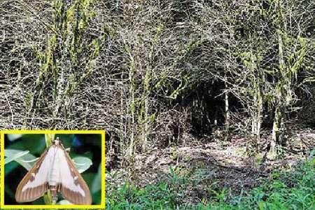 افزایش شدت آلودگی رویشگاههای شمشاد به آفت شب پره در جنگل های مازندران