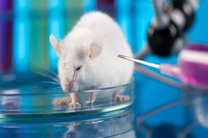 دانشمندان موشهای دیابتی را درمان کردند
