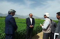معرفی ارقام پر محصول به کشاورزان موجب افزایش تولید میشود