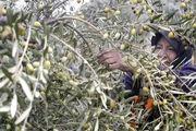 رودبار قطب تولید زیتون در استان