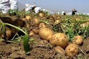 همدان دارای بیش از 20 هزار هکتار سطح زیر کشت سیب زمینی است