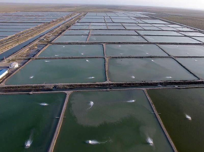 ۱۰ هزار تن میگو از مزارع پرورش میگو میناب برداشت می شود