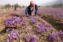 برداشت رسمی زعفران از آبان در کشور آغاز میشود