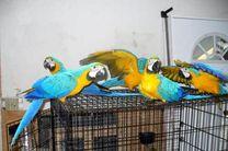 نگهداری پرندگان زینتی در محیط های بسته ممنوع/خطر آلرژی انسان در تماس با پرندگان جدی است