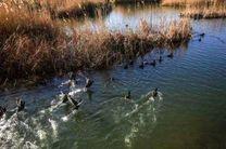 ورود پرندگان مهاجر  به  تالابها ی استان گیلان
