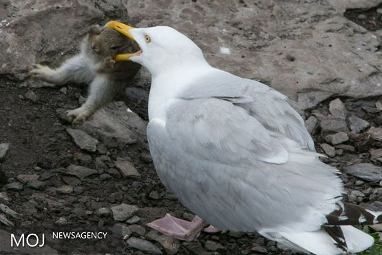 محققان برای احیای گونه ای مرغ دریایی منقرض شده تلاش می کنند