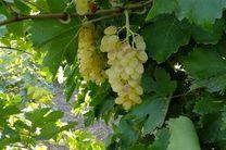 پیش بینی تولید بیش از ۵۷ هزار تن محصولات باغی در شهرستان کرمانشاه