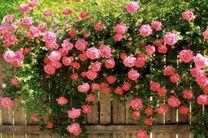 برگزاری جشنواره گل رز محمدی در باغ گل ها اصفهان
