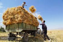 آغاز برداشت گندم از مزارع میناب/ پیش بینی برداشت 2 هزار تن محصول