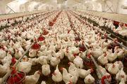 خودخوری مرغ ها بعد از معدوم سازی جوجه ها حاشیه ساز شد!
