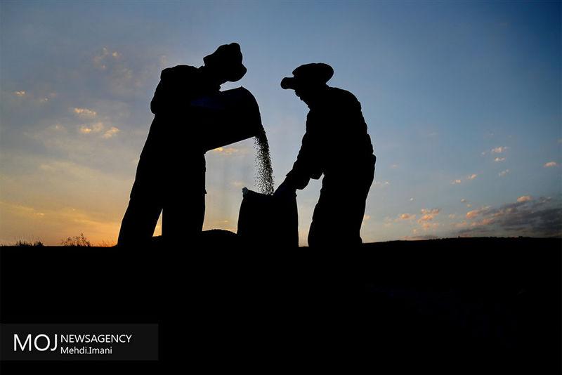 پیشبینی خرید تضمینی پنجاه هزار تن گندم از کشاورزان هرمزگانی/پیش بینی 14 مرکز خرید تضمینی گندم در هرمزگان