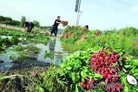 امحا زمینهای سبزیکاری آلوده در کرمانشاه