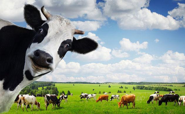 کمک گاوها به محققان در درمان ایدز