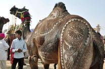 هزار و ۵۰۰ شتر سران عرب را در کنفرانس موریتانی همراهی می کنند