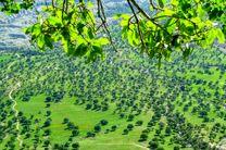 بلوط پناهگاه امن مردم ایلام در زمان جنگ/ درختان بلوط ایستاده می میمیرند