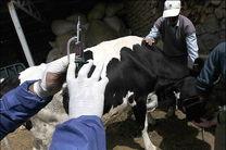 3 هزار دام سنگین علیه بیماری تب برفکی در مبارکه واکسینه می شوند