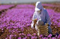 پیشبینی کشت بیش از 40 هکتار زعفران در کرمانشاه