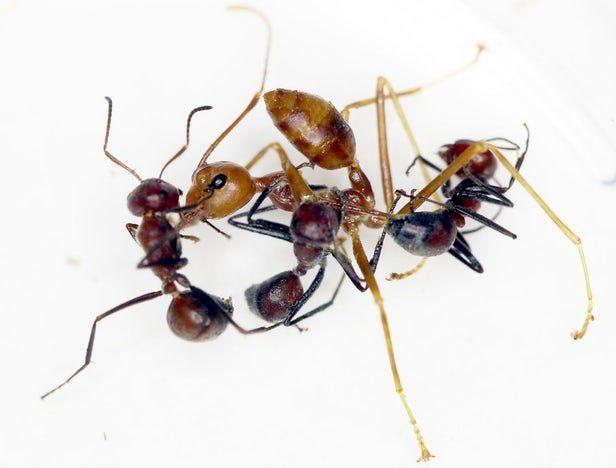 مورچه های کلوبوپسیس (Colobopsis) یا مورچه های انتحاری