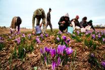 آغاز برداشت زعفران از سطح 10 هکتار زمین های کشاورزی ایذه