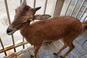 یک راس بره میش وحشی در منزلی در لنجان کشف شد