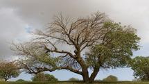 لورانتوس؛ آفتی جدی برای جنگلهای بلوط ایلام