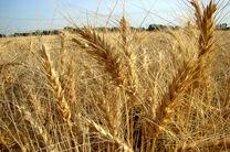 ۸٫۲ میلیون تن گندم مازاد بر نیاز کشاورزان خریداری شد