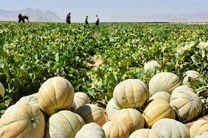 پیش بینی برداشت 30 تن طالبی از مزارع شهرستان آران و بیدگل