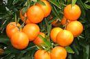 ردیابی مگس میوه مدیترانه ای در باغات جویبار/پیش بینی تولید بیش از دو هزار تن نارنگی زودرس