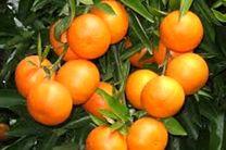 برداشت 45 هزار تن نارنگی پیش رس در مازندران
