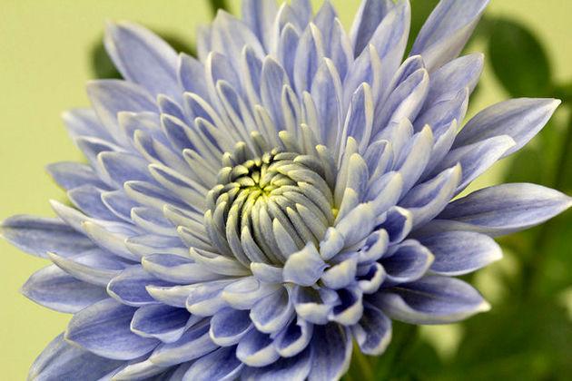 تولید یک گل نادر با استفاده از مهندسی ژنتیک