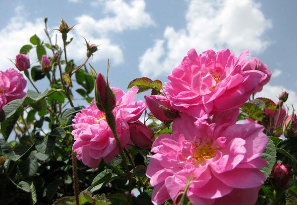 ۱۰ هکتار زمین آستان مقدس زیر کشت گل محمدی