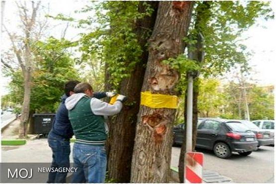 مهمترین آفت درختان نارون کنترل شد