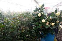 ۱.۷ میلیارد شاخه گل بریده تولید شد