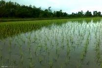 25 درصد مزارع برنج مازندران مکانیزه کشت میشود