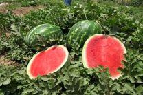 برداشت بیش از 80 تن هندوانه از مزارع گلپایگان